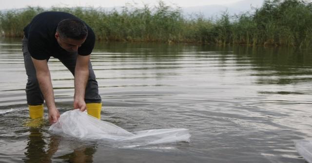 İznik Gölüne 45 Bin Adet Yavru Sazan Bırakıldı
