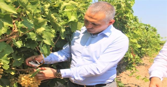 Manisada Üzüm Bağlarını Faydalı Böcekler Koruyor