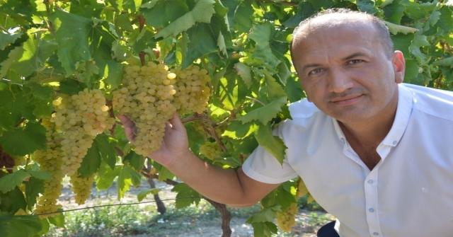 Manisa'da kuru üzüm için hasat