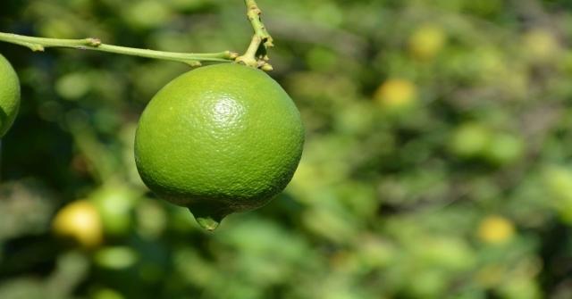 Dalaman Tigemde Limon İhalesi