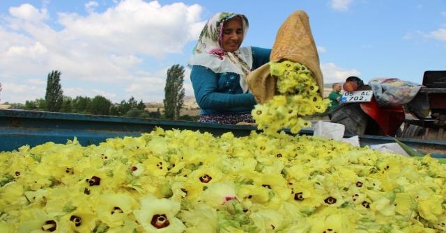 Amasyanın Çeyrek Altını: Çiçek Bamyası