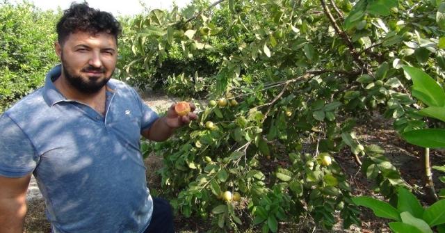 Türkiye'nin ilk 'Guava'sı Silifke'den
