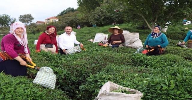 Ak Parti Giresun Milletvekili Öztürkten  Çay Üreticilerine Destek
