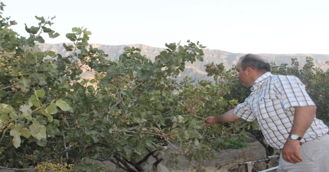 Siirtli Çiftçiler 'Yeşil Altın Hasadına Hazırlanıyor