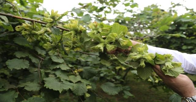 Fındıkta 'İyi Tarım Yapan Üretici Arttı