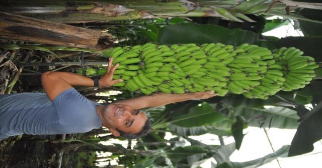 İthal Muza Getirilen Ek Vergi Yerli Üreticinin Yüzünü Güldürdü