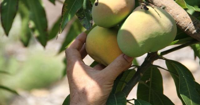 Alanyada Mango Hasadı Başladı