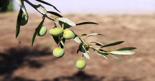 Zeytin Sineği Zararlısına İncir Ağaçlı Koruma