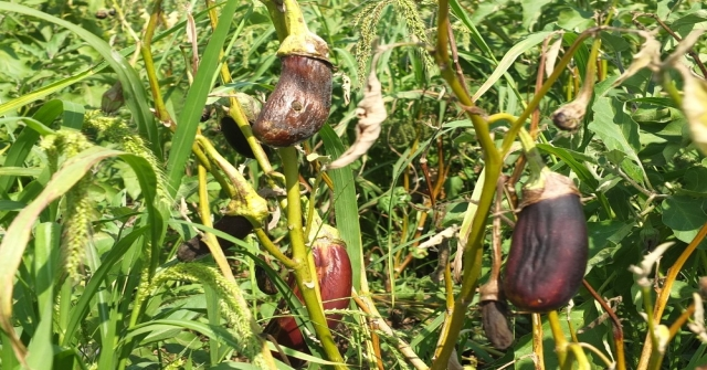 (Özel Haber) Gönen Patlıcanında Hastalık Endişesi