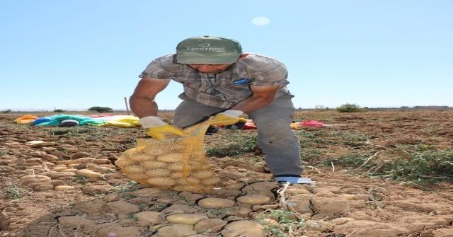 (Özel Haber) İlk Yerli, Milli Ve Renkli Patates Hasat Edildi