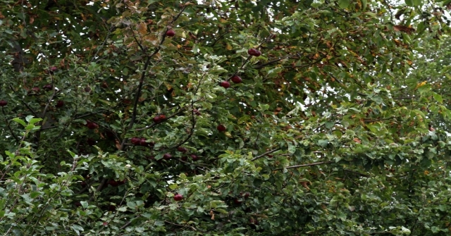 İçi De Dışı Gibi Kırmızı Elmaya Coğrafi İşaret Çalışmaları