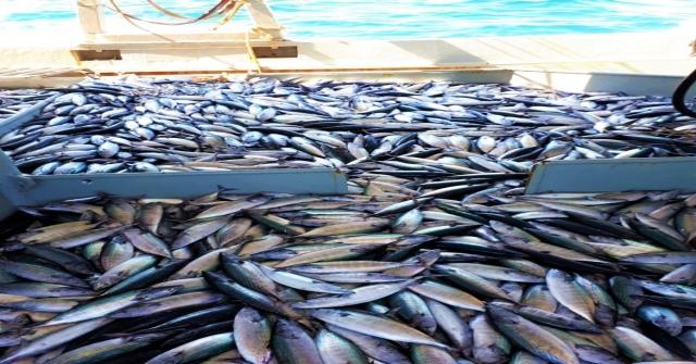 (Özel Haber) Karadenizde Görülmemiş Bolluk: Denizden Yüzlerce Kasa Palamut Çıktı