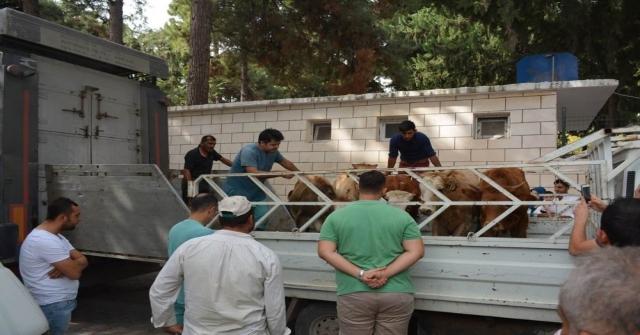 Altınözünde Genç Çiftçilere 85 Büyükbaş Hayvan Dağıtıldı