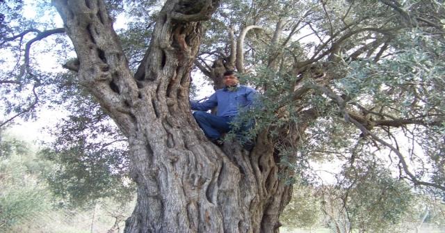 Anıt Zeytin Ağaçları Tespit Edilip Koruma Altına Alınacak