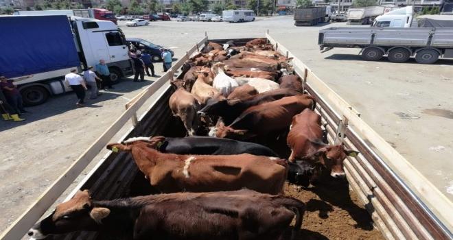 Trabzonda Proje Kapsamında Genç Çiftçilere 575 Adet Sığır Dağıtıldı
