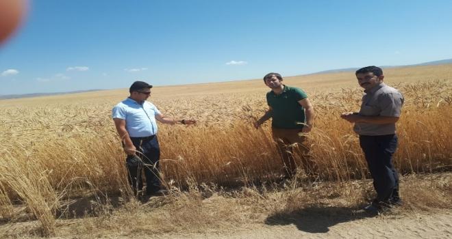 Özalpta Buğday Hasadına Başlandı