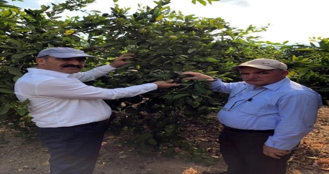 Narenciye Üretiminde Akdeniz Meyve Sineğiyle Mücadelede Destek