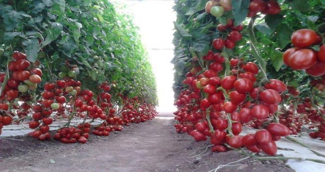 Orduda Organik Tarıma Sıkı Denetim