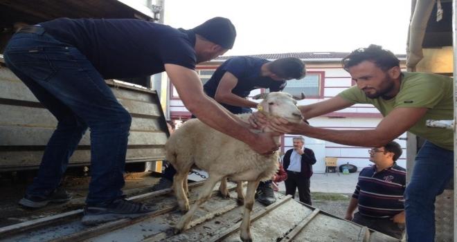 Tosyada Genç Çiftçilere 96 Koyun 6 Koç Dağıtıldı