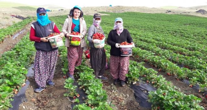 Yediveren Çileği, Çiftçinin Umudu Oldu